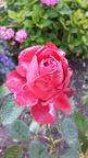 Rose im Morgentau